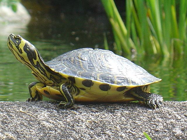 Comunicato stampa della Provincia di Oristano sulla Trachemys Scripta (tartaruga palustre americana)