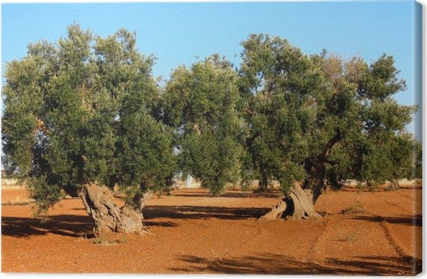 bando raccolta olive Serra Majori